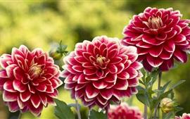 Flores, jardim, dálias, pétalas vermelhas-brancas