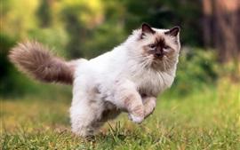 Пушистый кот бежит