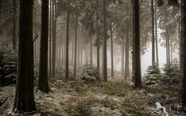 Forest, trees, fog, frost, cold