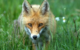 Preview wallpaper Fox front view, head, face, grass