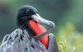 Preview wallpaper Frigate bird, beak