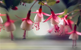 Preview wallpaper Fuchsia flowers macro photography