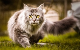 Preview wallpaper Furry cat walk on the grass, yellow eyes