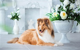 Preview wallpaper Furry collie, flowers