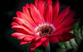 Gerbera macro photography, red petals