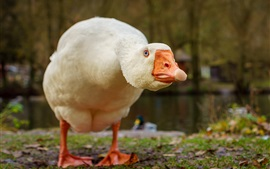 Preview wallpaper Goose look at you, head, beak