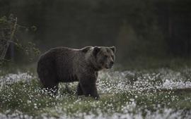 Urso cinza, caminhada, flores silvestres