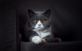 Preview wallpaper Gray cat look at you, yellow eyes, chair