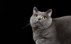 Preview wallpaper Gray cat look up, yellow eyes, black background