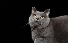 El gato gris mira para arriba, ojos amarillos, fondo negro