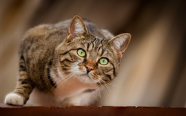 预览壁纸 绿色的眼睛猫狩猎