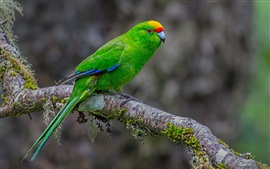 Green feather parrot, tree branch, moss