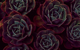 Preview wallpaper Houseplant close-up, echeveria, succulent plants