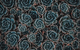 Preview wallpaper Houseplant, echeveria, succulent flowers