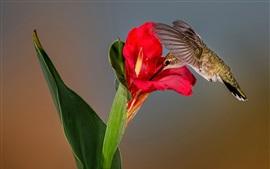 Colibri, flor vermelha, folha verde
