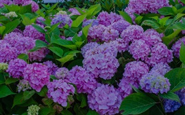 Hydrangea flowers bloom, spring