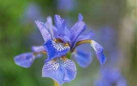 Preview wallpaper Iris flower macro photography, blue petals, bokeh