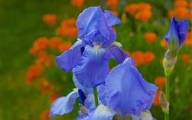 Preview wallpaper Irises, blue petals