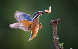 Kingfisher attraper du poisson, vol