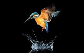 Полет Kingfisher, крылья, вода, всплеск, черный фон