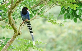Preview wallpaper Long tail bird, blue feathers, tree, green leaves