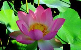 Лотос, розовый цветок, зеленые листья