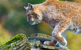 Lynx walk, stones