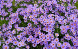미리보기 배경 화면 많은 보라색 꽃, 데이지
