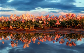 Many tulips, pond, water, clouds