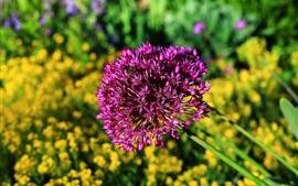 Flores de cebolla, pétalos de color púrpura