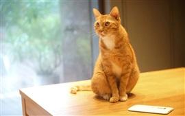 Orange cat sit on table, phone