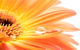 Preview wallpaper Orange gerbera, petals, water drops