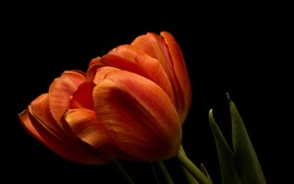 Orange tulips close-up, black background