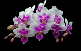 Preview wallpaper Orchids, inflorescence, pink and white petals, black background