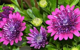 osteospermum, pétalas, flores roxas