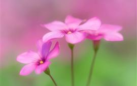 Oxalis, flores cor de rosa