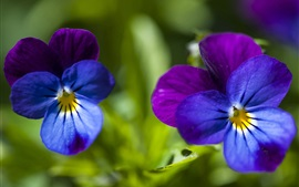 Preview wallpaper Pansy, blue and purple petals