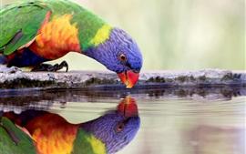 Papagaio bebe água, sede, penas coloridas