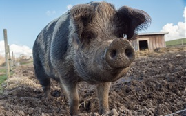 Preview wallpaper Pig, nose, dirt