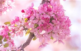 Pink crabapple flowers, bloom, spring