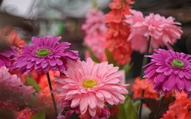 Preview wallpaper Pink flowers, petals, gerbera