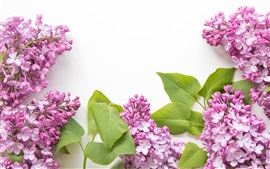 Preview wallpaper Pink lilac flowers, white background