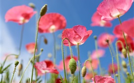 Pink poppies flowers, blue background