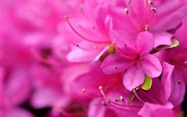 Fotografia macro de rododendros cor de rosa, pétalas