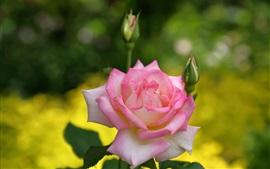 Rosa rosa, pétalas, botões de flores
