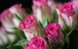 Rosas cor-de-rosa, botões de flores, fundo embaçado