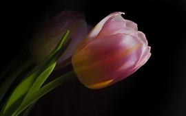 Pink tulips, darkness background