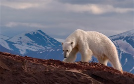 Preview wallpaper Polar bear, rocks, mountains