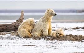 Ursos polares, família, neve