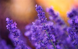 Preview wallpaper Purple flowers, lavender, plant
